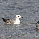 Caspian Gull, Rotherhithe (R Bonser).