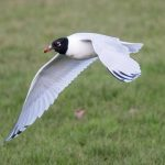 Mediterranean Gull, Tooting Common (A Wilkinson).