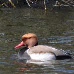Red-crested Pochard, Longside Lake (J Snell).