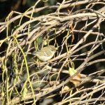 Yellow-browed Warbler, Mitcham (D Mitchell).