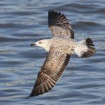 Yellow-legged Gull, Rotherhithe (R Bonser).