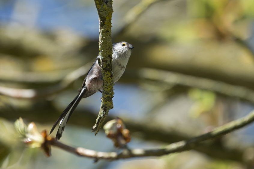 Long-tailed Tit, Stoke Water Meadows Guildford, 05/04/2020 (James Sellen)