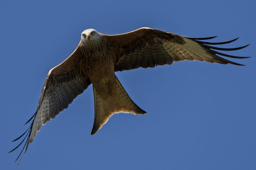 Red Kite, Stoke Water Meadows Guildford, 05/04/2020 (James Sellen)