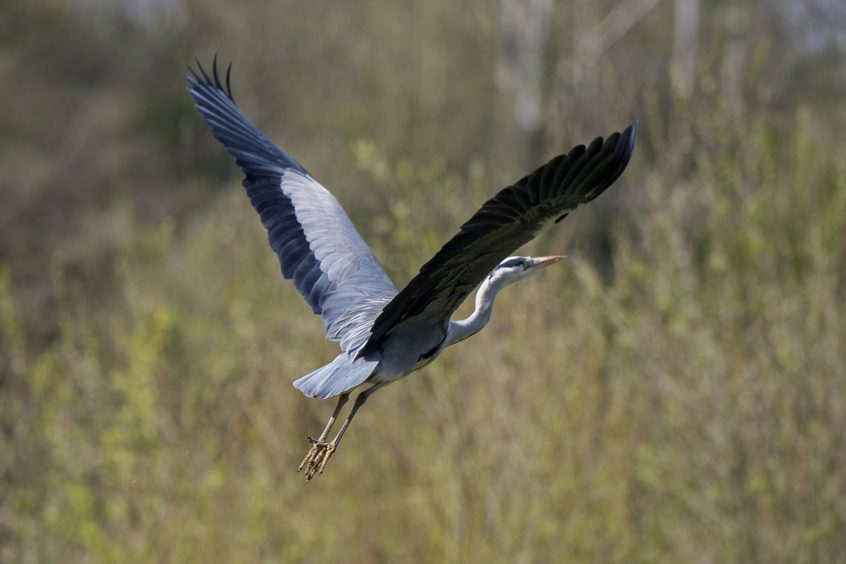 Grey Heron, Stoke Water Meadows Guildford, 28/03/2020 (James Sellen)
