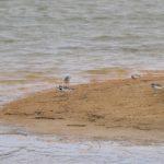 Little Ringed Plovers, Holmethorpe SP (G Hay).