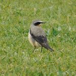 Wheatear, West Clandon (M Phelps).