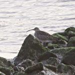 Whimbrel, Rotherhithe (R Bonser).