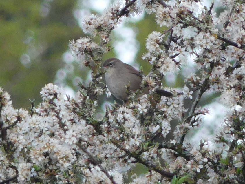 Cetti's Warbler, 12/04/20 (Colin Kemp)