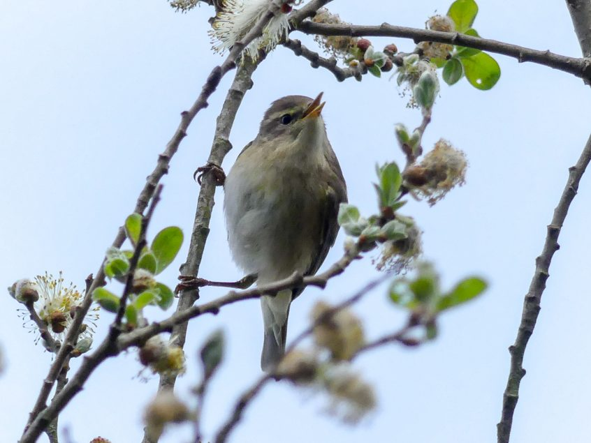 Willow Warbler, Bookham Common, 13/04/20 (Colin Kemp)