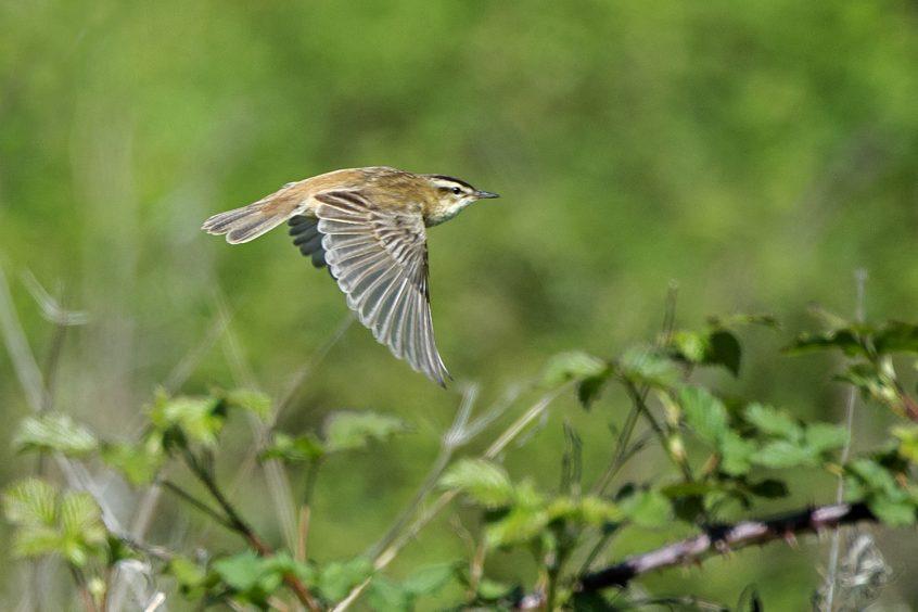 Sedge Warbler, 25/04/20 (J Sellen)