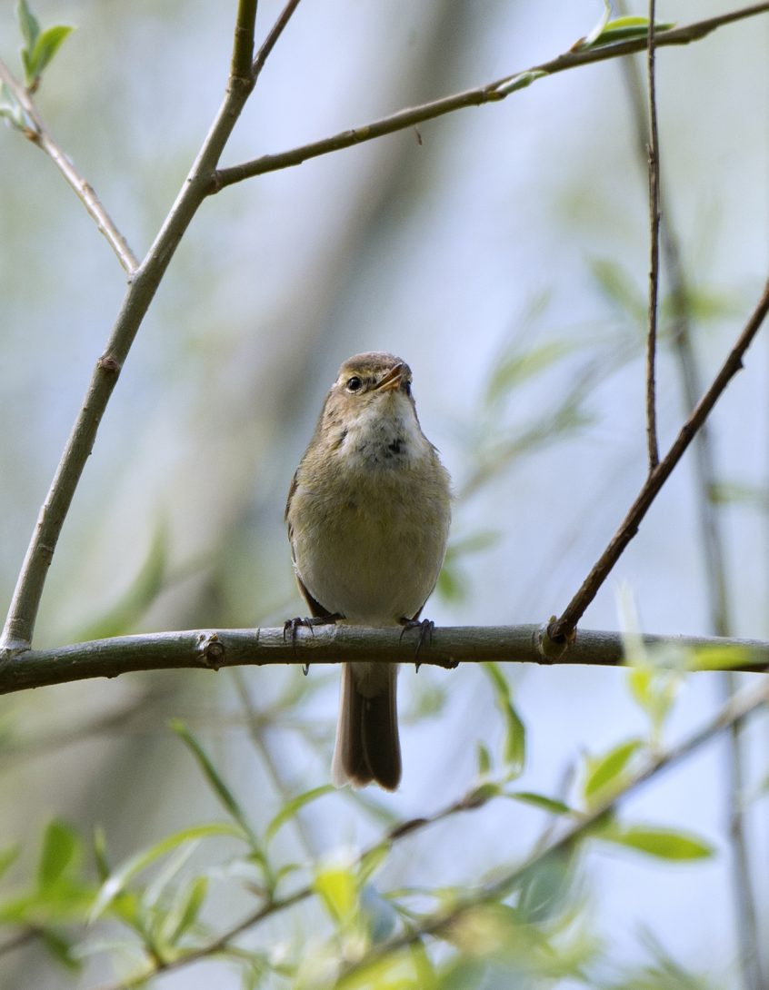 Chiffchaff, Guildford, 12/04/20 (J Sellen)
