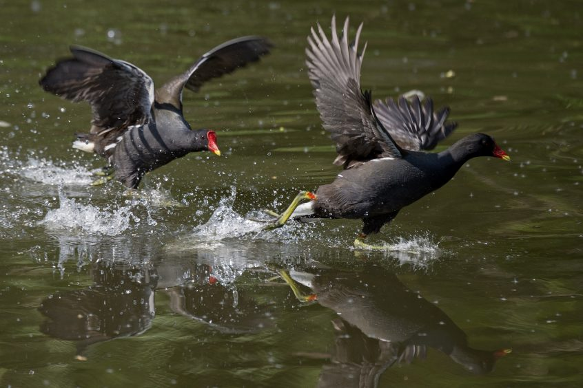 Moorhens, River Wey, Guildford, 24/04/20 (J Sellen)