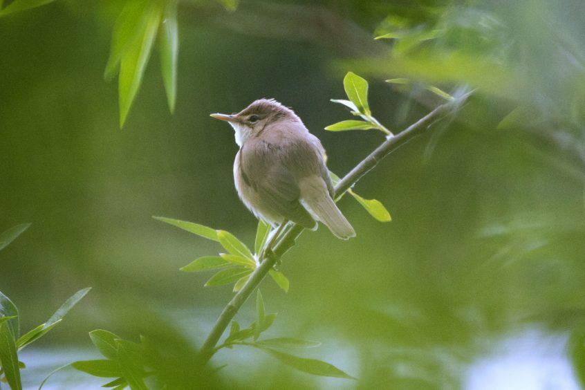 Reed Warbler, Stoke Lake, Guildford 02/05/20 (J Sellen)