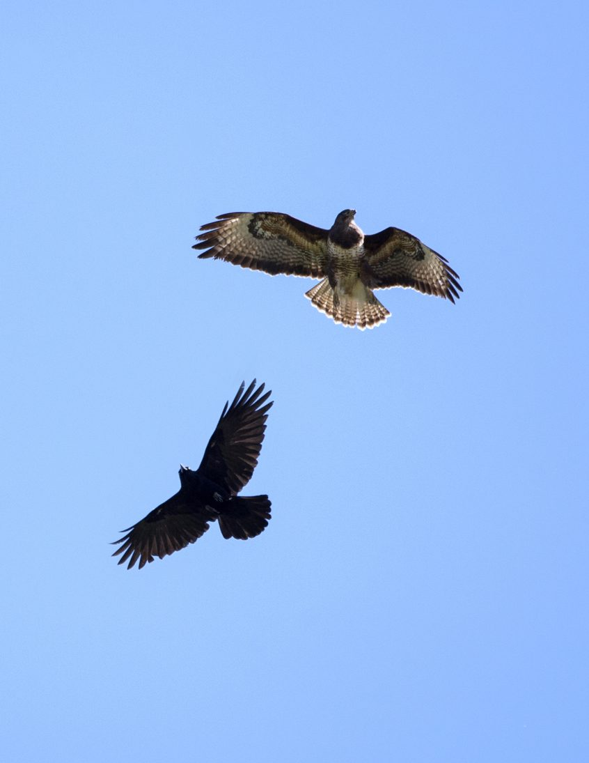 Common Buzzard & Crow, Guildford, 19/04/20 (J Sellen)