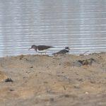 Common Sandpiper and Little Ringed Plover, Frensham Great Pond (E Stubbs).