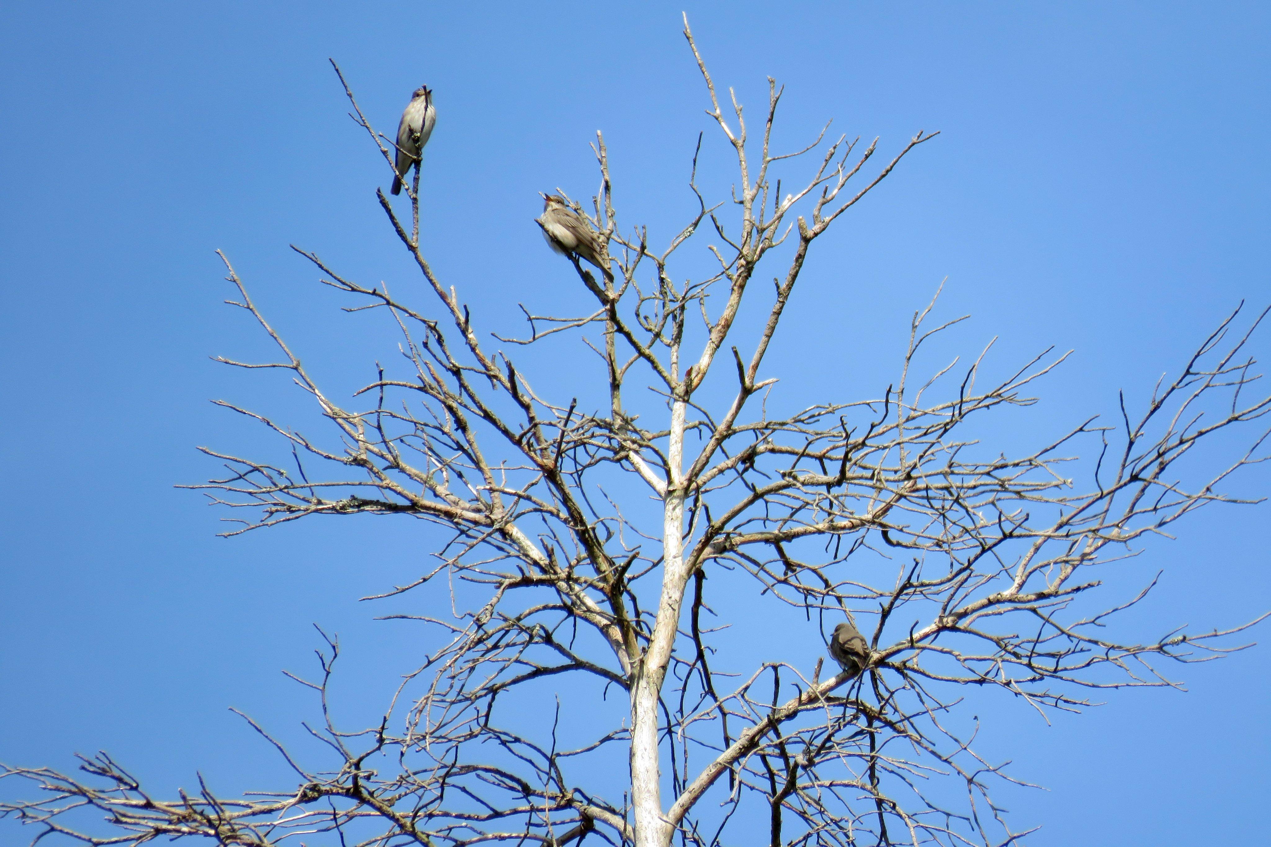 Spotted Flycatchers, Crooksbury Common (S Ferguson).