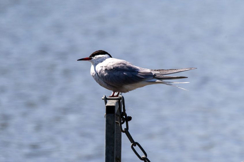 Common tern, Richmond Park, 22/04/20 (John Drewett)