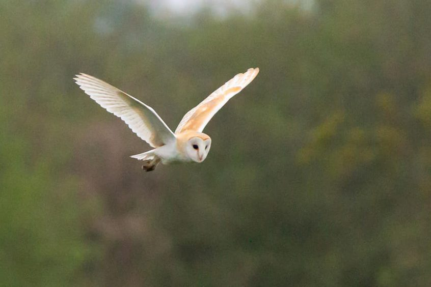 Barn Owl, Papercourt Meadows, 26/04/20 (C Marsters)