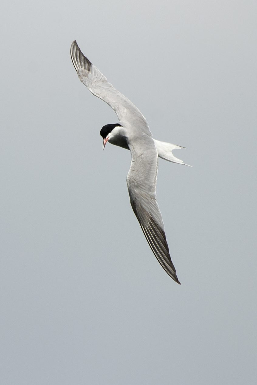 Common Tern, Stoke Lake, Guildford , 16/05/20 (J Sellen)