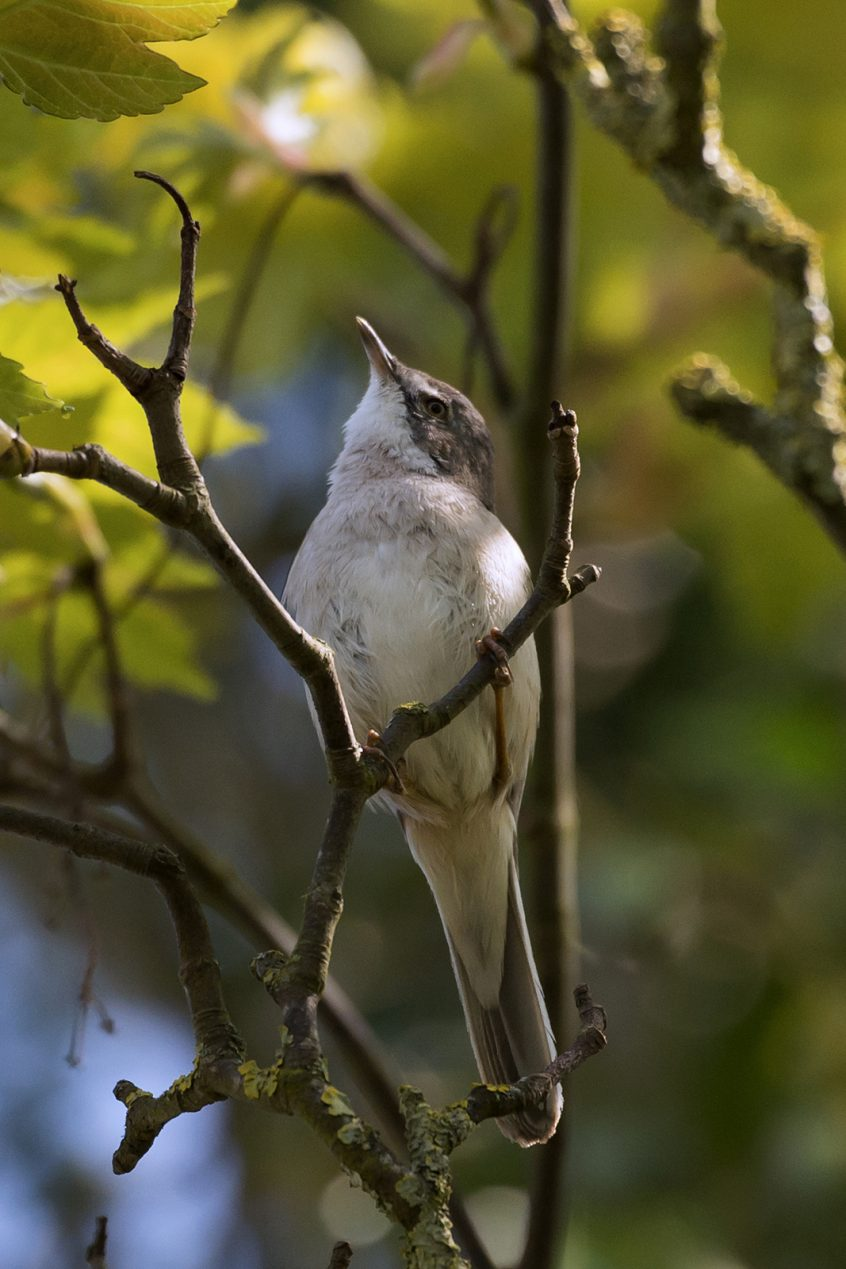 Whitethroat, Stoke Water Meadows, Guildford, 19/04/20 (J Sellen)