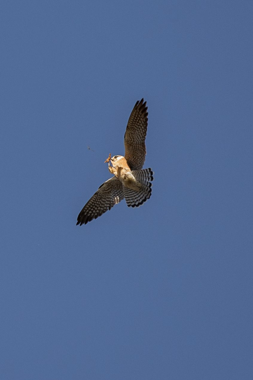 Red-footed Falcon, Thursley Common, 18/05/20 (J Sellen)