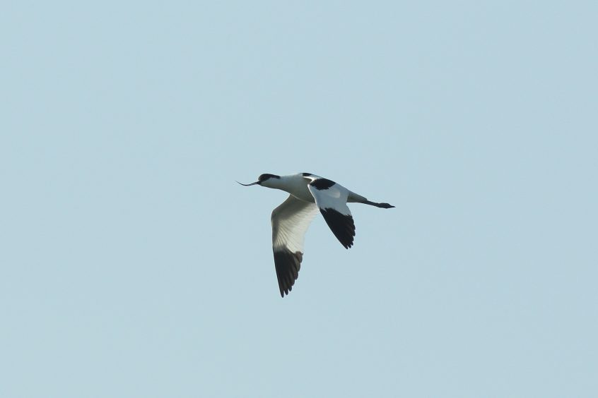 Avocet, 10/04/20 (D Harris)