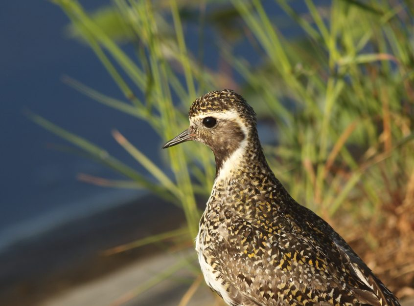 Golden Plover, 26/05/20 (D Harris)