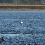 Roseate Tern, Queen Elizabeth II Reservoir (D Harris).