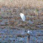 Great Egret, Tice's Meadow (D Burford).