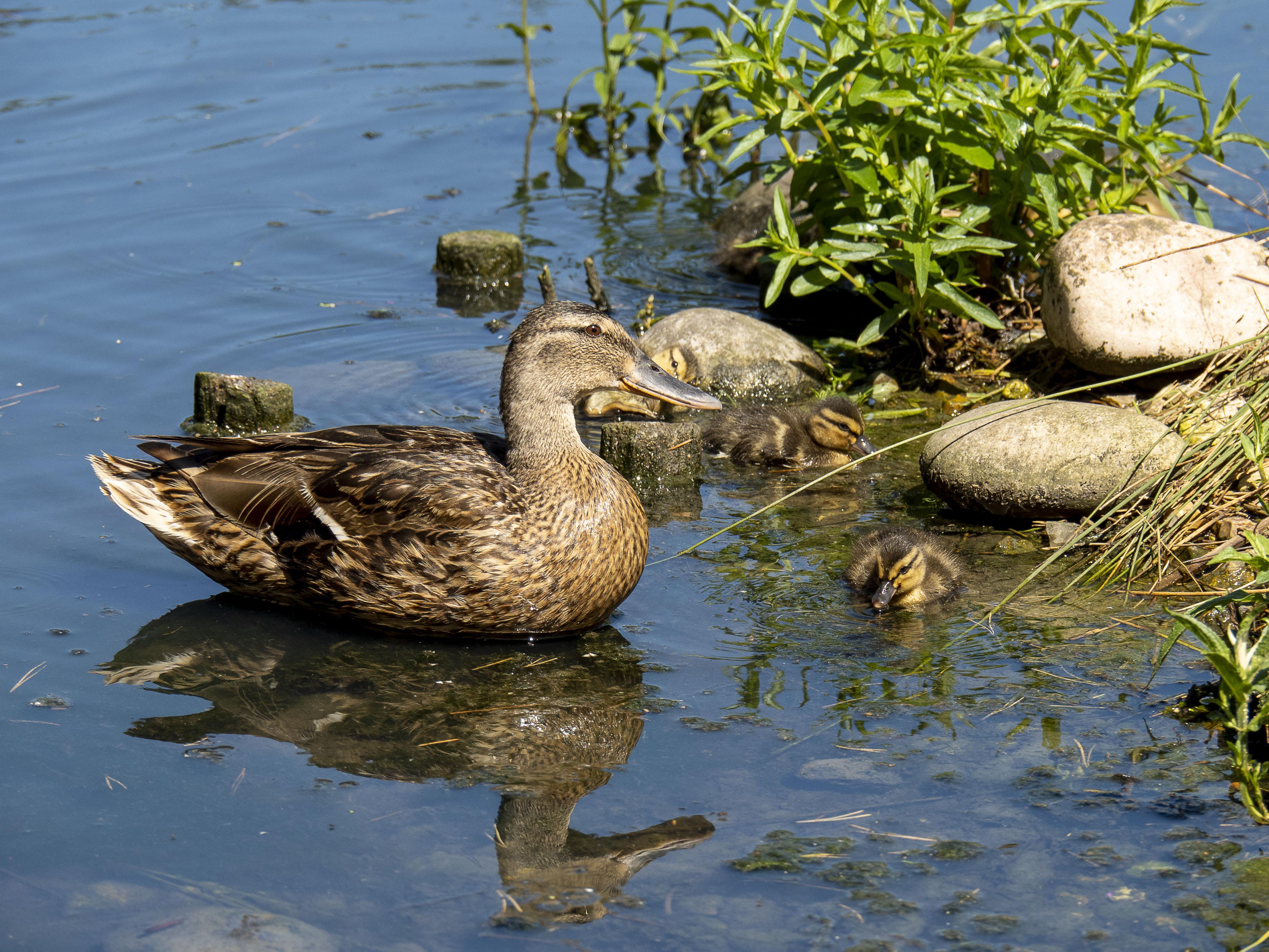 Mallard, London Wetland Centre, Barnes 30/07/20 (J Drewett)