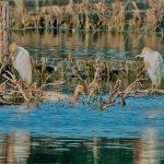 Cattle Egrets, Tice's Meadow (C Varndell).