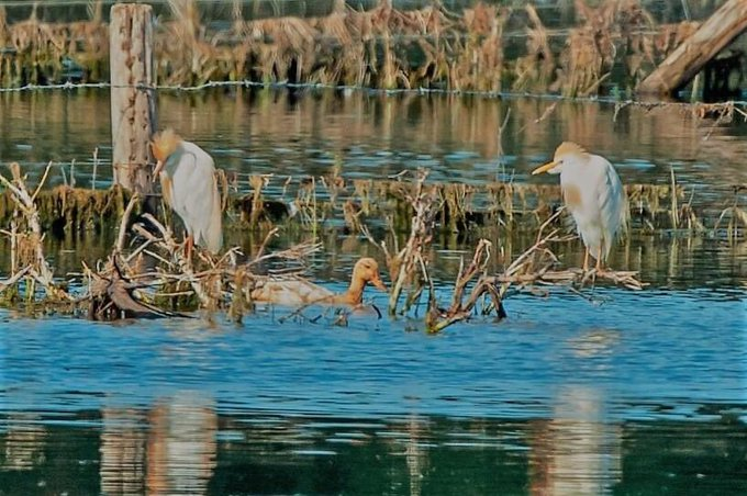 Cattle Egrets, Tice's Meadow (C Varndell).