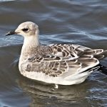 Mediterranean Gull, Rotherhithe (R Bonser).