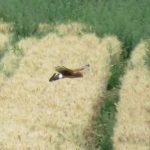 Hen Harrier, Burgh Heath (S Ferguson).