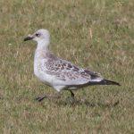 Mediterranean Gull, Dorking (M Davis).