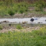 Black-tailed Godwit, Beddington Farmlands (A Wasley).