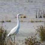 Great Egret, London Wetland Centre (WWT).