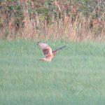 Hen Harrier, Burgh Heath (S Hammond).