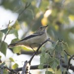 Pied Flycatcher, Chiddingfold Forest (E Stubbs).