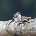 Spotted Flycatchers, Crooksbury Common (E Stubbs).