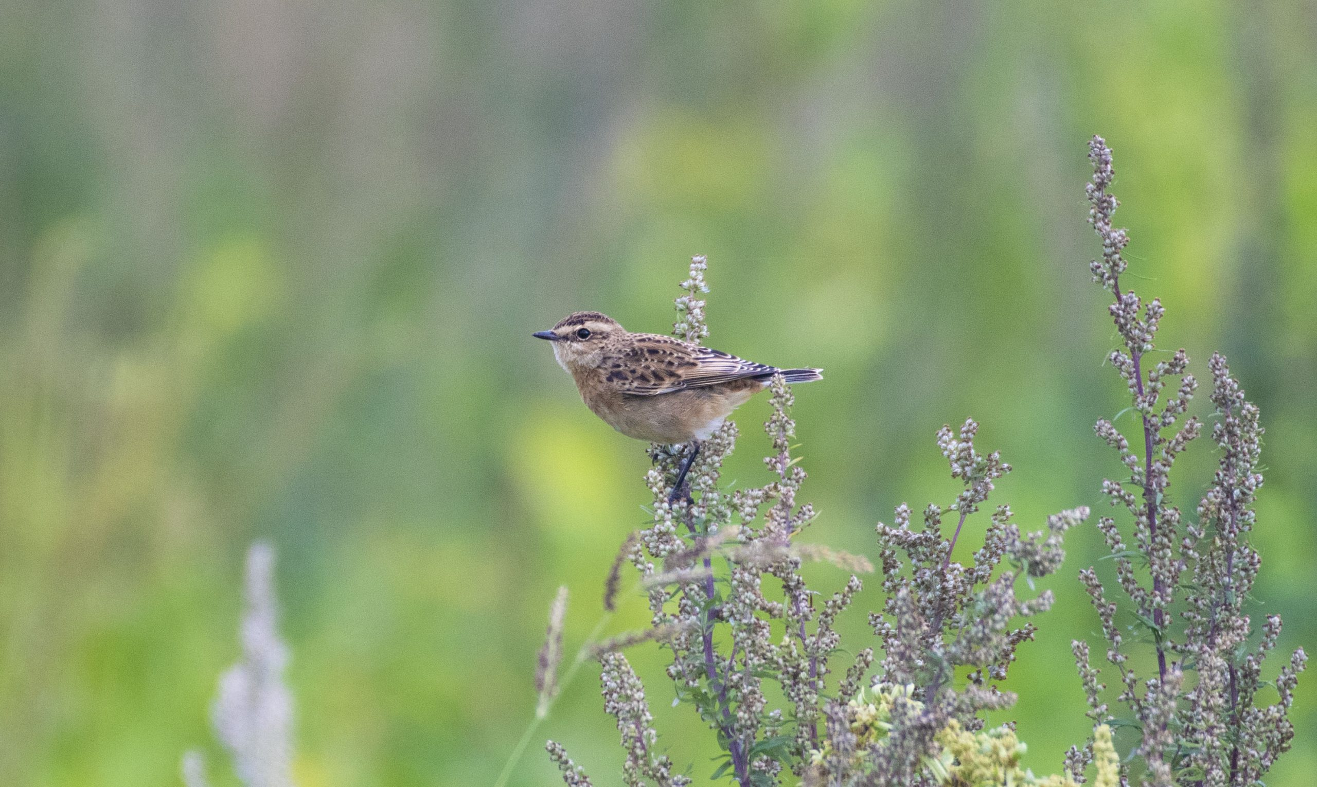 Whinchat, Shackleford (E Stubbs).