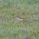 Yellow Wagtail, Shackleford (E Stubbs).