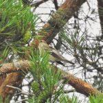 Pied Flycatcher, Crooksbury Common (J Hunt).
