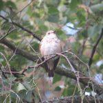 Spotted Flycatcher, Blackheath (K Britten).