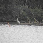 Great Egret, Badshot Lea (J Hunt).