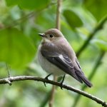 Pied Flycatcher, Rotherhithe (R Page-Jones).