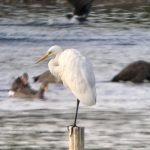 Great Egret, Tice's Meadow (J Hunt).