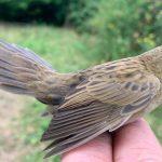 Grasshopper Warbler, Capel (W Attridge).