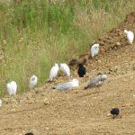 Cattle Egrets, Beddington Farmlands (D Warren).