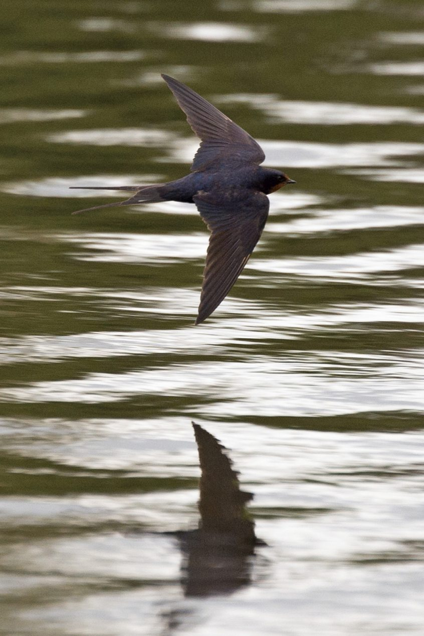 Swallow, Stoke Lake, Guildford, 29/08/20, (J Sellen)
